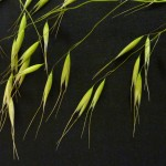 Cheatgrass in Dallas