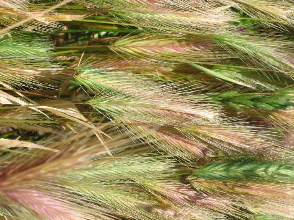 Foxtail Awns 28 Images Foxtail Season Central California Spca Fresno Ca Foxtail The Grass
