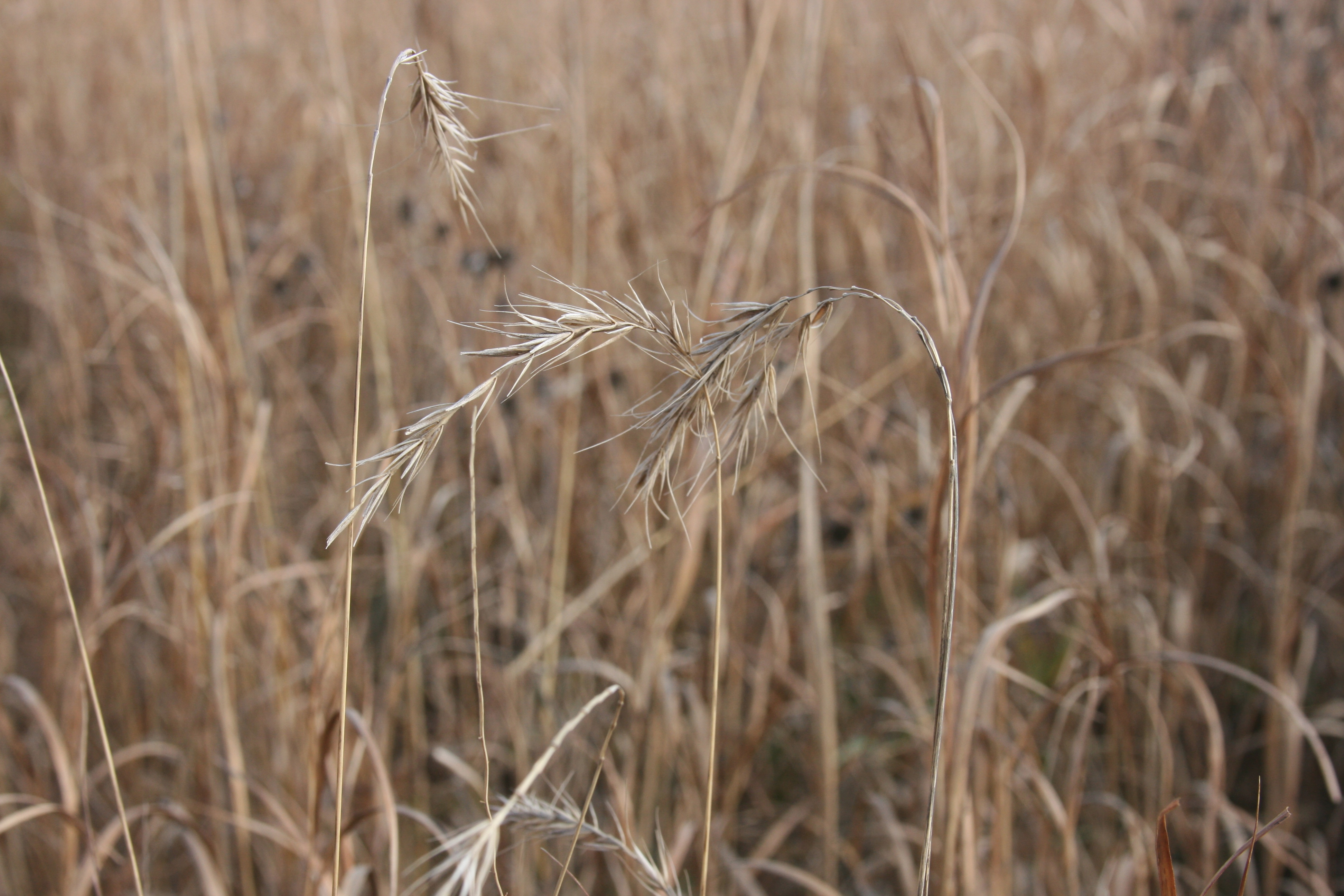 Canada Wild Rye The Grass Awn Project