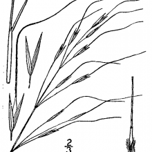 Blackseed Speargrass